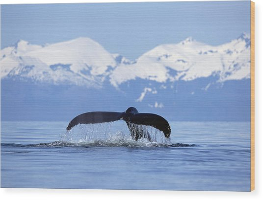 Wood Print featuring the photograph Humpback Whale Megaptera Novaeangliae by Konrad Wothe