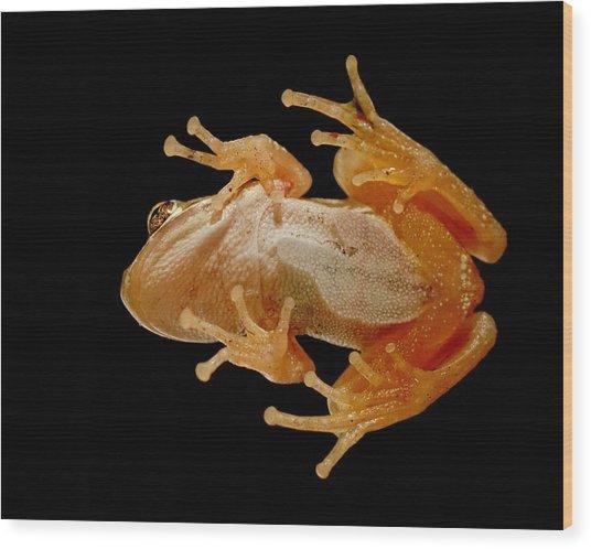 Hunting On Glass - Tree Frog Wood Print