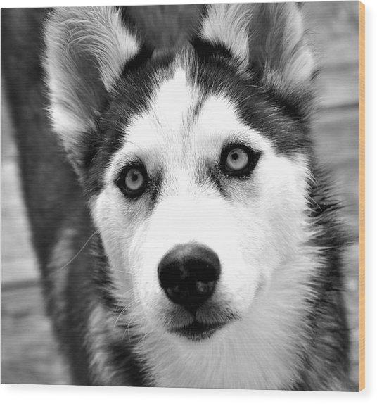 Husky Pup Wood Print