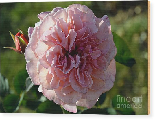 Hybrid Tea Rose Wood Print