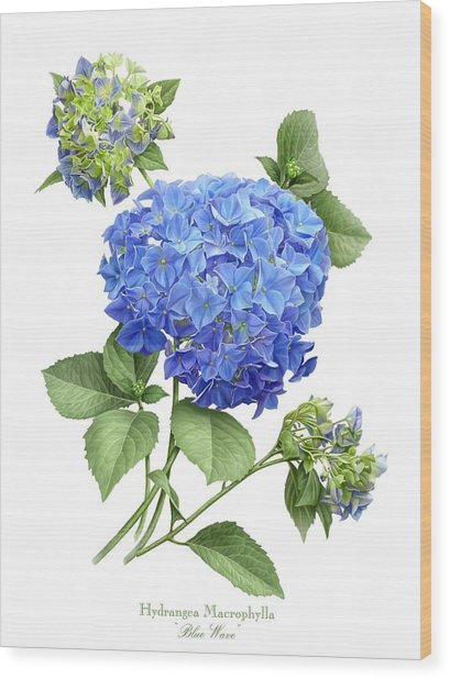 Hydrangea Blue Wave Wood Print