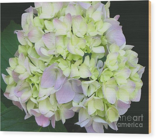 Hydrangea Wood Print by Linda Vespasian