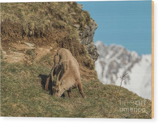Ibex On The Mountains Wood Print