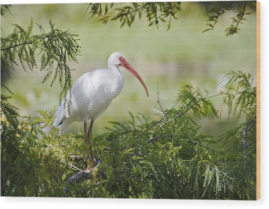 Ibis In Cypress Wood Print