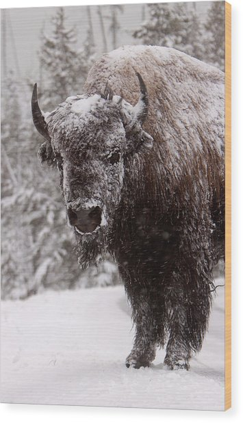 Ice Cold Winter Buffalo Wood Print