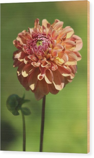 Iced Tea Dahlia In Marzipan And Milano Tones Wood Print