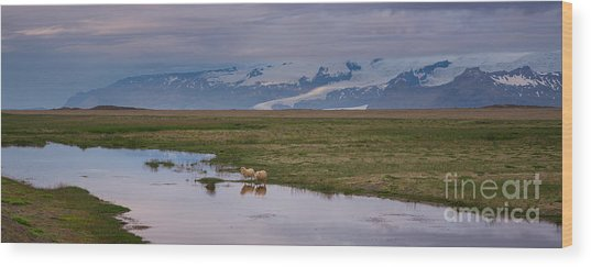 Iceland Sheep Reflections Panorama  Wood Print
