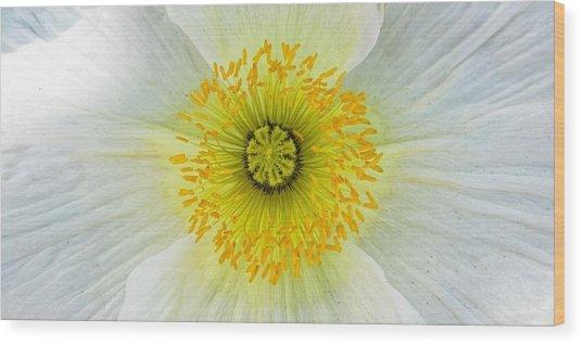 Iceland White Poppy Wood Print