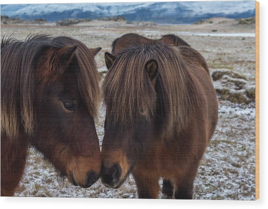 Icelandic Horses Couple Wood Print