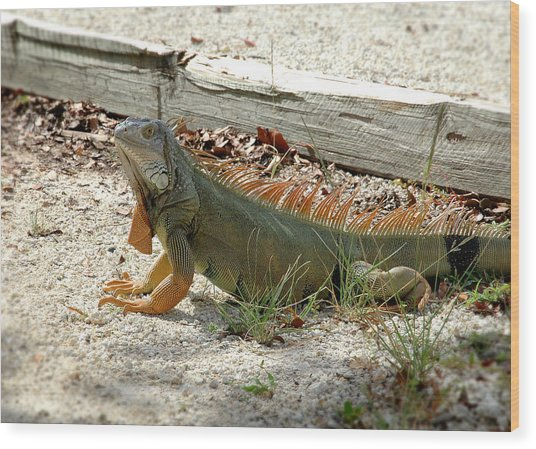 Iguana 2 - Key Largo Wood Print by Frank Mari