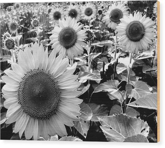 Illinois Sunflowers Wood Print by Todd Fox