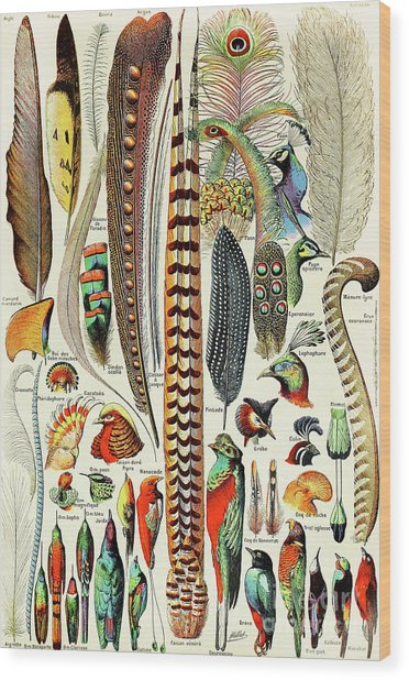 Illustration Of Feathers And Birds  Wood Print