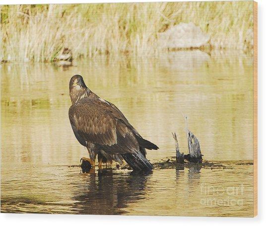 Immature Bald Eagle Wood Print by Dennis Hammer