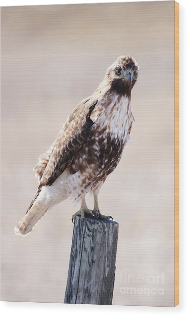 Immature Red Tailed Hawk Wood Print