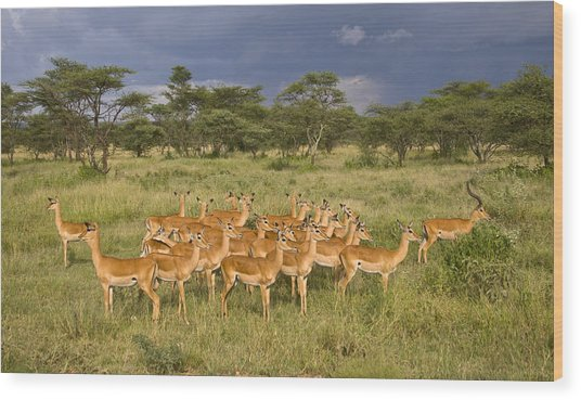 Impala Herd - Serengeti Plains Wood Print