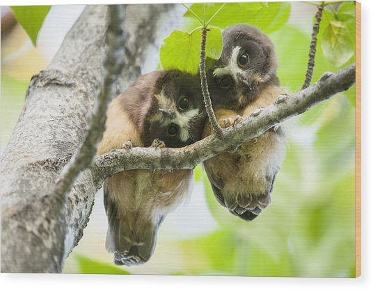 Impossibly Cute Owl Fledglings Wood Print