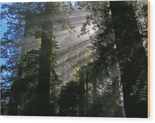 In The California Redwood Forest Wood Print