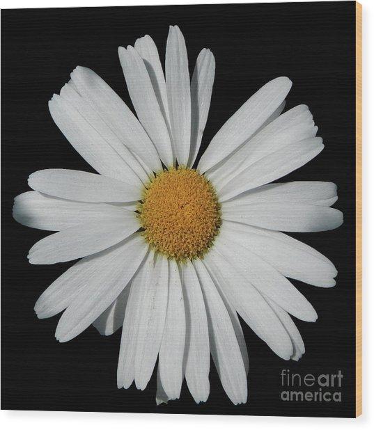 In The Spotlight White Daisy Wood Print