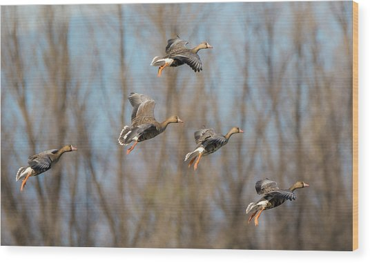 Incoming White-fronted Geese Wood Print