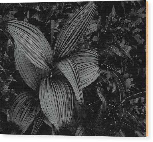 Wood Print featuring the photograph Indian Hellebore 1 by Trever Miller