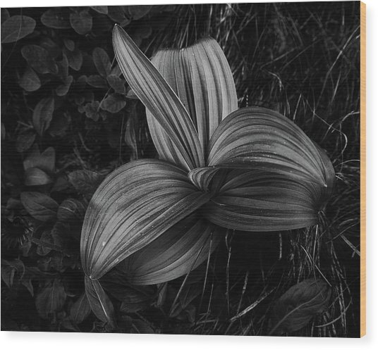 Wood Print featuring the photograph Indian Hellebore 2 by Trever Miller
