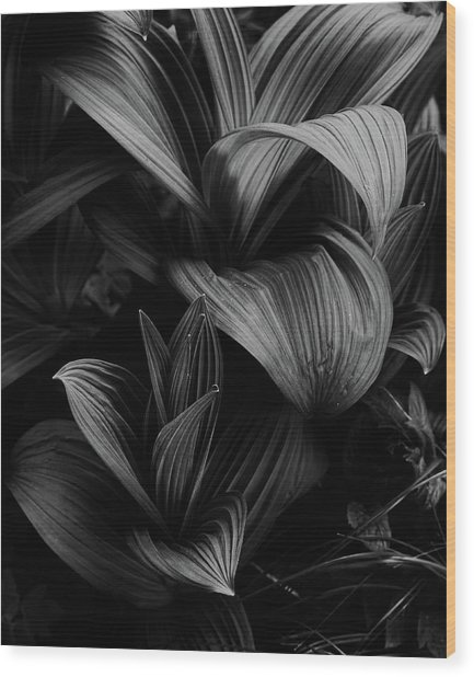 Wood Print featuring the photograph Indian Hellebore 4 by Trever Miller