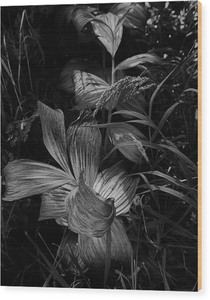 Wood Print featuring the photograph Indian Hellebore 6 by Trever Miller