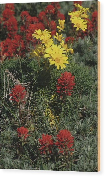 Indian Paintbrush And Sea Dahlia Blooming Wood Print