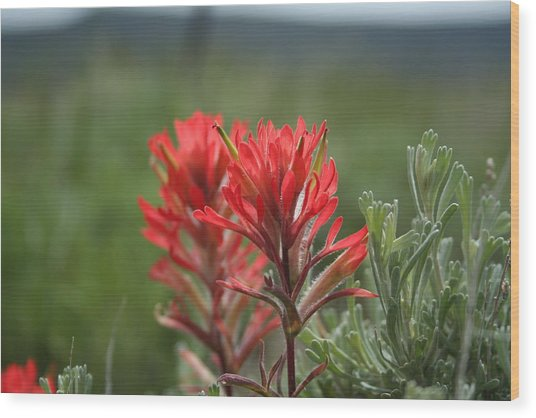 Indian Paintbrush Wood Print by Susan Pedrini