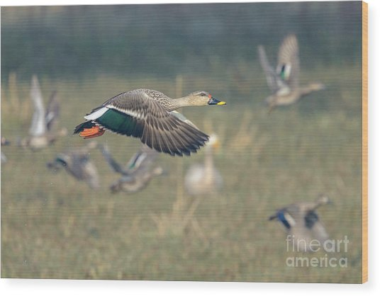 Indian Spot-billed Duck 01 Wood Print