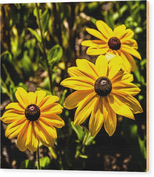 Indian Summer Gloriosa Daisy Wood Print