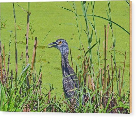 Inmature Black Crowned Heron. Wood Print