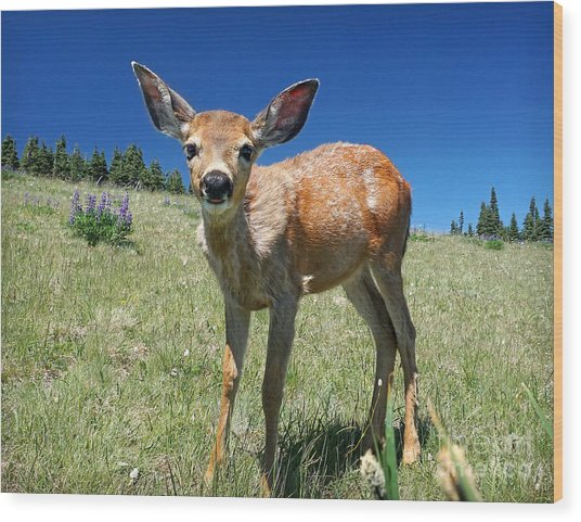 Inquisitive Blacktail Fawn Wood Print