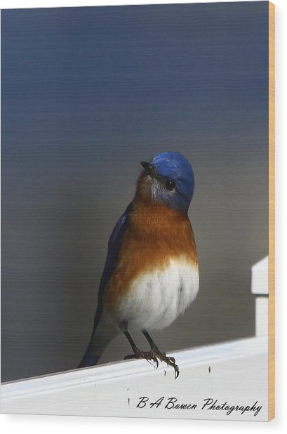 Inquisitive Bluebird Wood Print