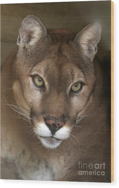 Intense Cougar Wood Print