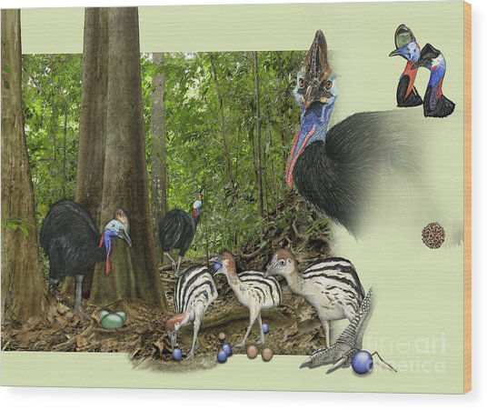 Zoo Nature Interpretation Panel Cassowaries Blue Quandong Wood Print