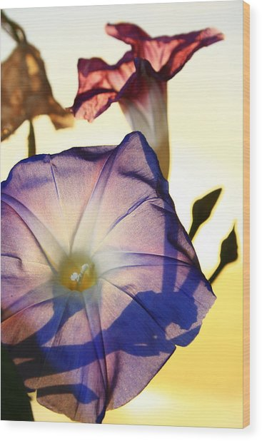 Ipomoea With Rising Sun Behind Wood Print