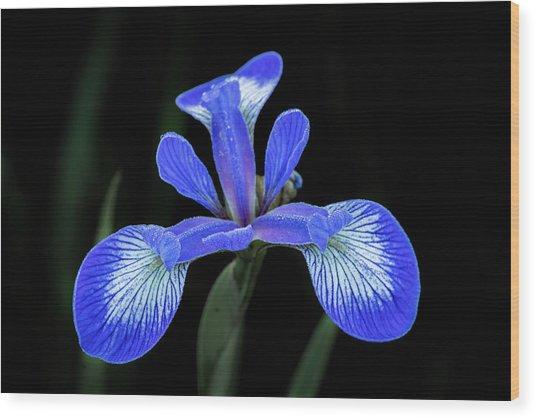 Iris #2 Wood Print