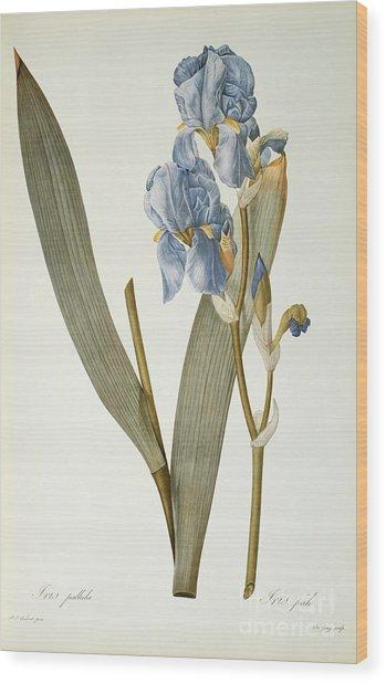 Iris Pallida Wood Print