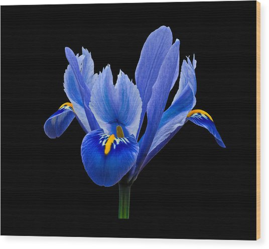 Wood Print featuring the photograph Iris Reticulata, Black Background by Paul Gulliver