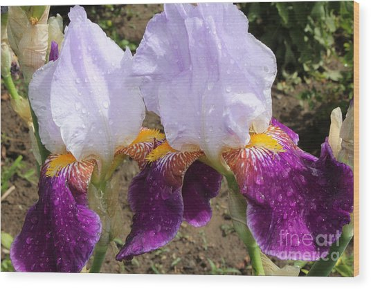 Irises Sparkling With Rain Droplets Wood Print