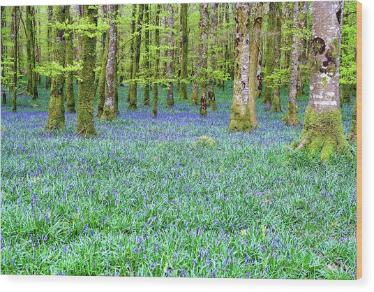 Irish Bluebell Woods - Lissadell, Sligo - New Leaves On The Trees And With A Carpet Of Blue Under Wood Print