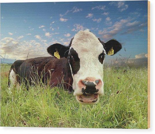 Irish Talking Cow Wood Print