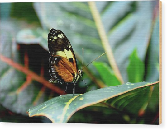 Ismenius Tiger Butterfly-2 Wood Print