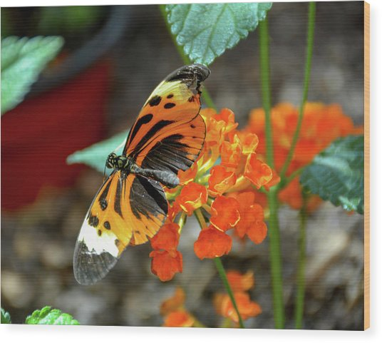 Ismenius Tiger Butterfly Wood Print