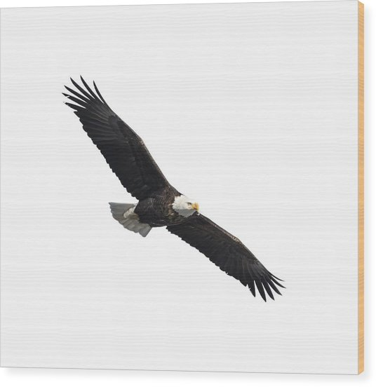 Isolated American Bald Eagle 2016-2 Wood Print