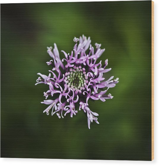 Isolated Flower Wood Print