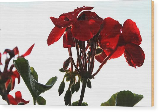 Isolated Red Geranium Wood Print by Karen Fowler