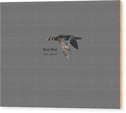 Isolated Wood Duck 2017-1 Wood Print