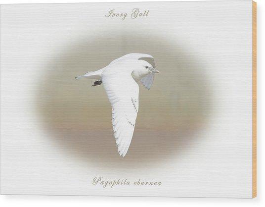 Ivory Gull Wood Print